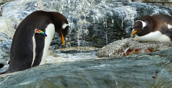 The Gay Penguin Parents