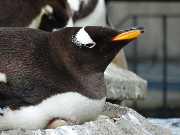 Contented Penguin
