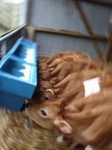 Dairy Farm-0010