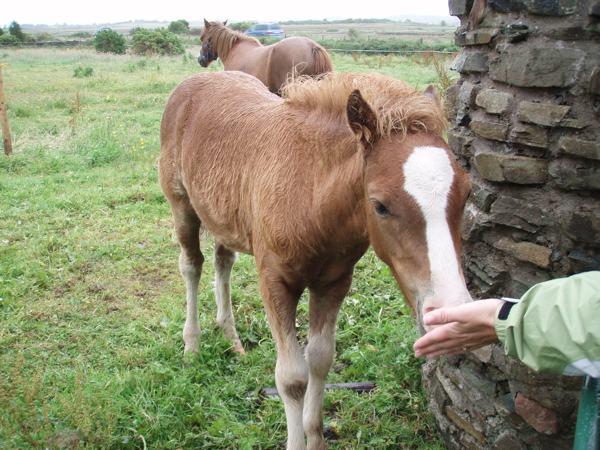 Bog Pony in the Kerry Bog Village