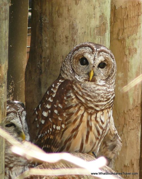Owl Big