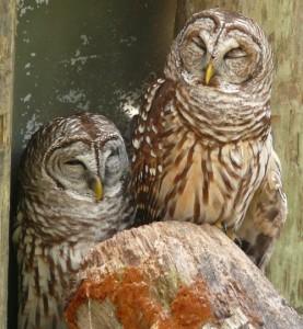 owl sleep 2
