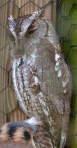 owl sleepy