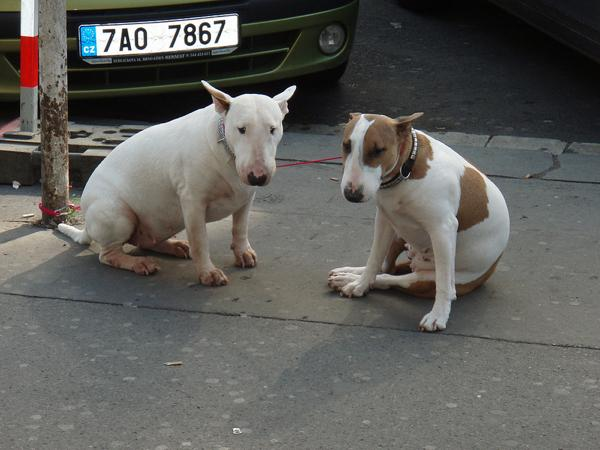 AUS Dogs